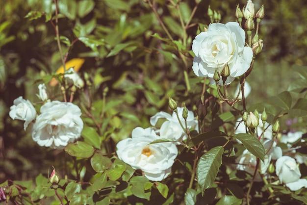Weißrosenblumen im hausgarten