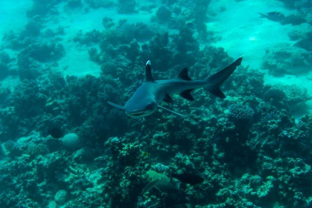 Weißspitzen-riffhai oder triaenodon-obesus, der im meer schwimmt
