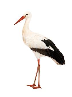 Weißstorch - ciconia ciconia auf einem weiß isoliert
