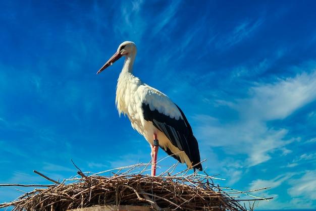 Weißstorch vor blauem himmel auf nest