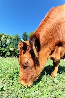 Weitwinkelansicht einer kuh auf grünem gras
