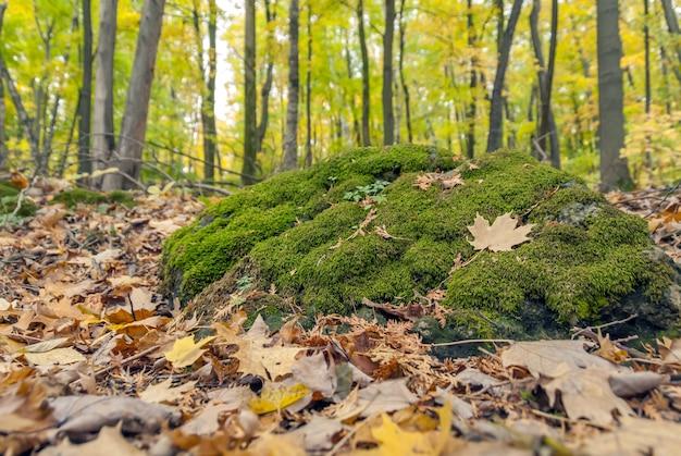 Weitwinkelaufnahme von grünem moos, das in einem wald wächst, der durch trockene blätter umgeben ist