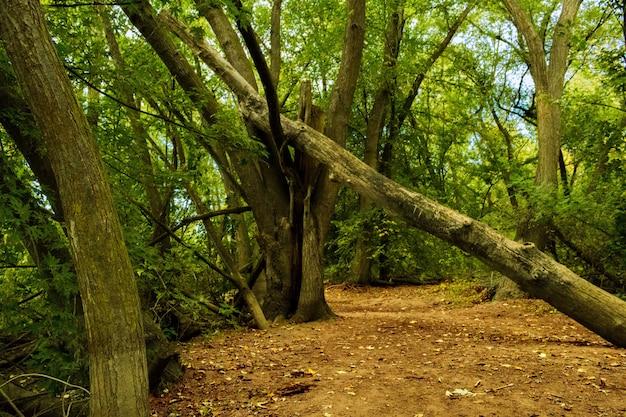 Weitwinkelaufnahme von grünen bäumen und einem umgestürzten baum in einem wald