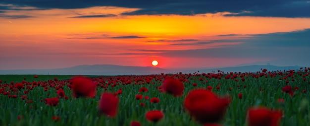 Weitwinkelpanorama des feldes mit blühenden roten mohnblumen bei sonnenuntergang