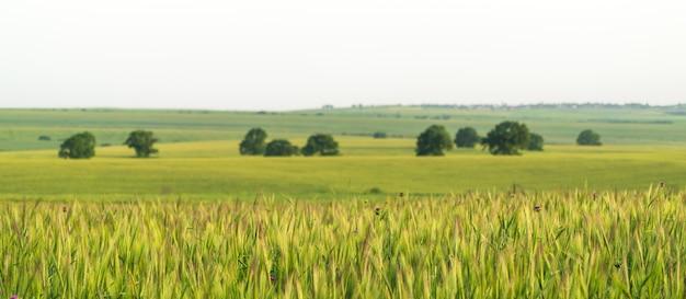 Weizen auf einem bauernfeld