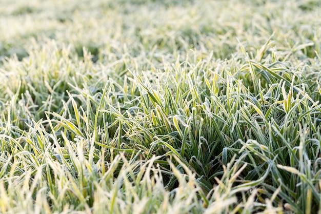 Weizen für den winter gepflanzt