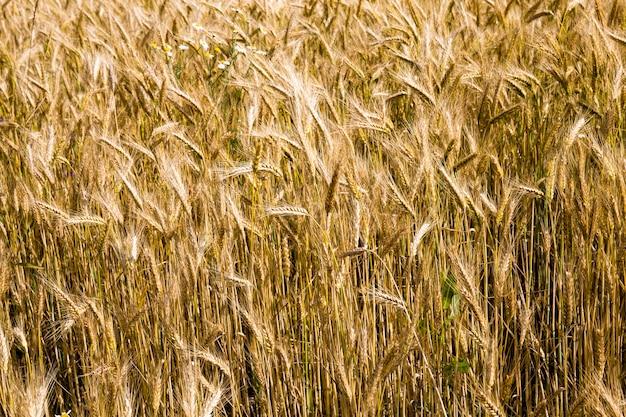 Weizen im sommer