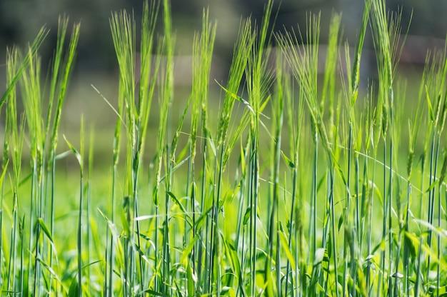 Weizen in experimenteller handlung.
