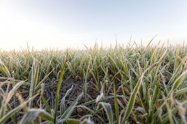 Weizen oder roggen für den winter gesät