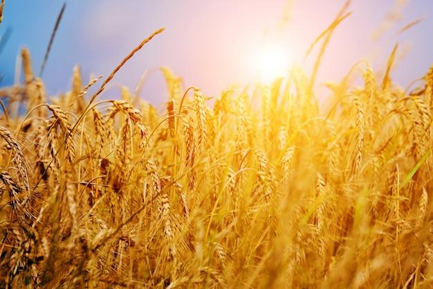Weizen strähne bei sonnenuntergang