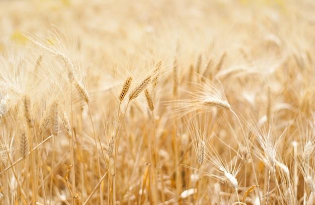 Weizen und ähre
