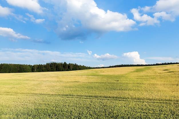 Weizen unreifes grün, wächst in einem landwirtschaftlichen feld. kleine tiefenschärfe-nahaufnahmen gemacht. sommersaison.