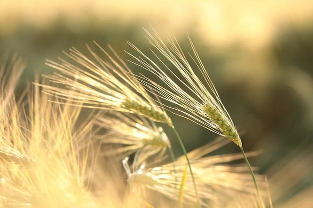 Weizenähre auf dem feld in der abenddämmerung