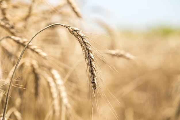 Weizenähre nahaufnahme auf dem feld