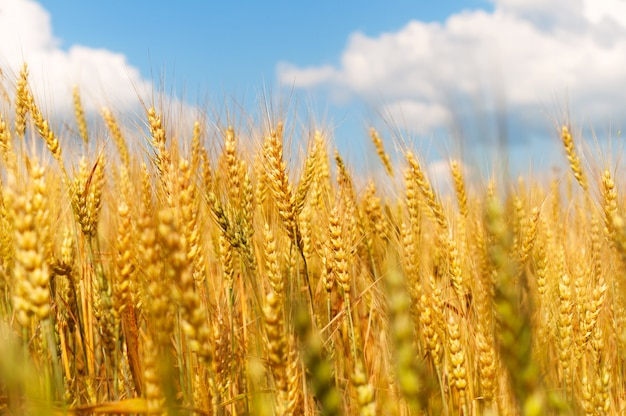 Weizenähren am blauen himmel