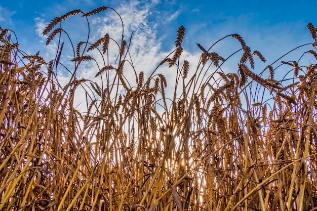 Weizenähren der frischen ernte an einem sonnigen sommertag