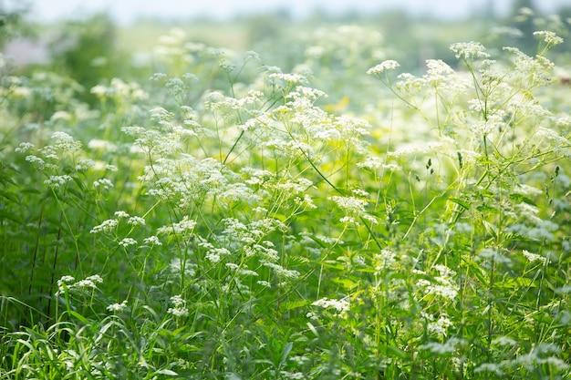 Weizenähren mit kornblumen im feld an einem sommertag im juli