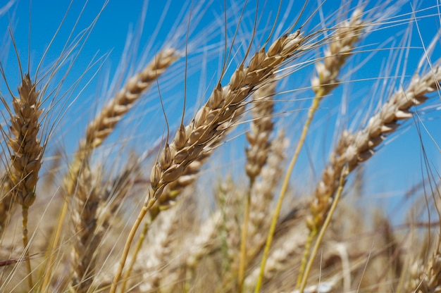 Weizenähren, nahaufnahme