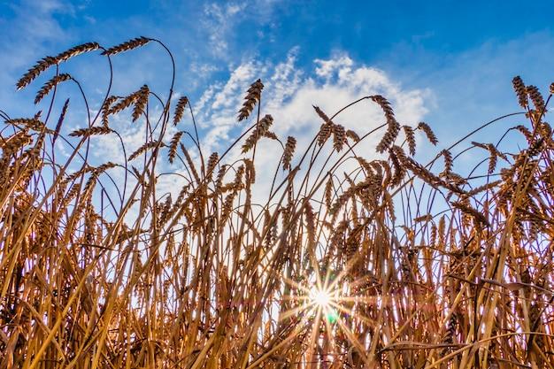 Weizenähren reifen in einem feld vor blauem himmelshintergrund