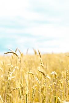 Weizenähren