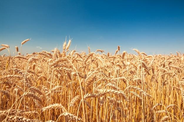 Weizenfeld an einem sonnigen tag
