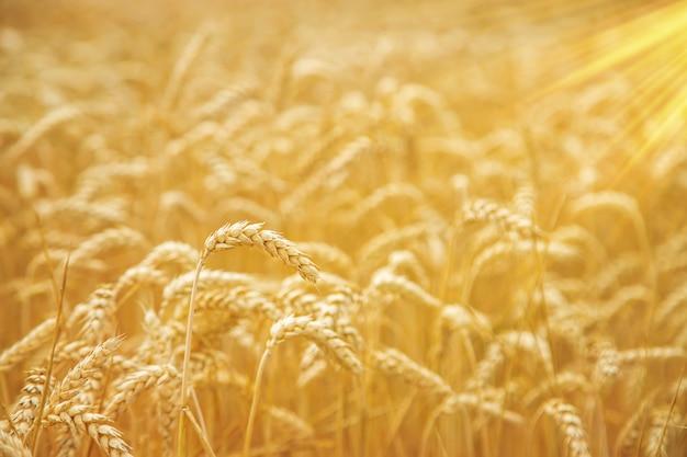 Weizenfeld an einem sonnigen tag.