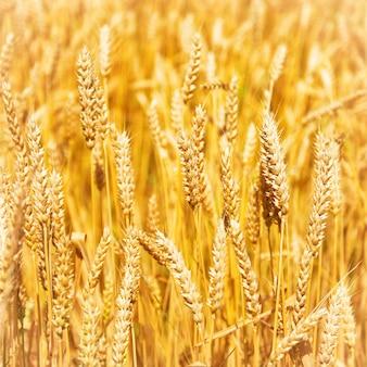 Weizenfeld auf sonnenuntergang. naturhintergrund