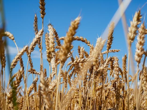 Weizenfeld gegen einen blauen himmel mit sonne. golden ears weizen. kopf vollkorn hautnah. konzept der reichen ernte. helles reifes getreidefeld. selektiver fokus.