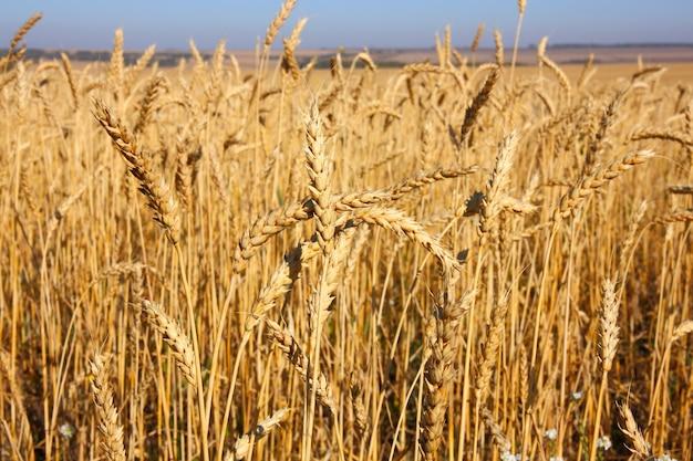 Weizenfeld gegen einen blauen himmel