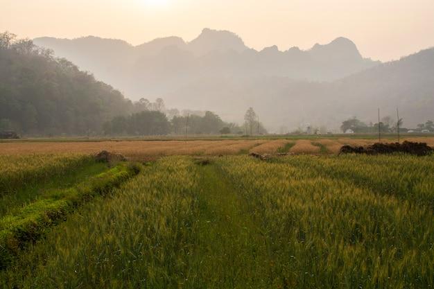 Weizenfeld gegen himmel und berge zur sonnenuntergangzeit