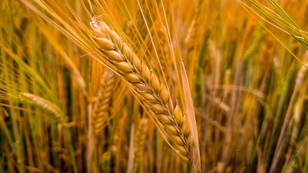 Weizenfeld gelb