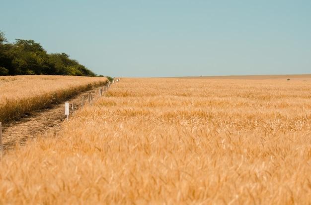 Weizenfeld. goldweizen nahaufnahme. ländliche landschaft unter dem glänzenden sonnenlicht.