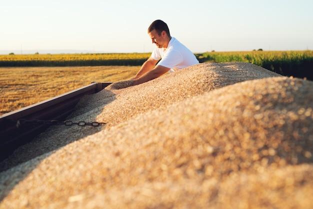 Weizenfeld, landwirt, der am feld arbeitet. überprüfung der qualität des landwirtschaftlichen erzeugnisses.