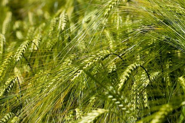 Weizenfeld mit einer unreifen weizenernte