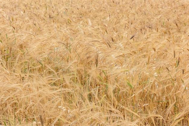 Weizenfeld mit goldenen ohren