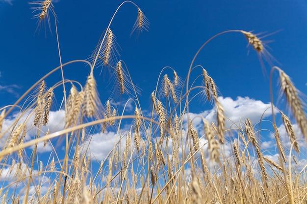 Weizenfeld mit ohren des goldenen weizens gegen den blauen himmel. schöne landschaft