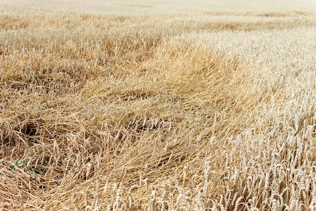 Weizenfeld nach einem hurrikan, weizenbruch,