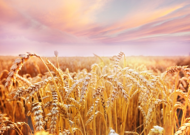 Weizenfeld, nahaufnahme. reife ähren wachsen auf der natur.