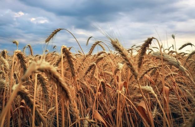 Weizenfeld. ohren aus goldenem weizen schließen. schöne natur sonnenuntergang landschaft. ländliche landschaft. hintergrund der reifung der ohren des wiesenweizenfeldes. reiches erntekonzept