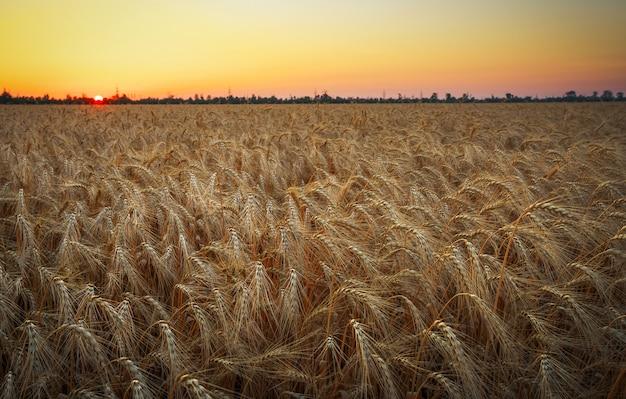 Weizenfeld. ohren aus goldenem weizen schließen. schöne natur sonnenuntergang landschaft. ländliche landschaft unter strahlendem sonnenlicht. hintergrund der reifung der ohren des wiesenweizenfeldes. reiches erntekonzept