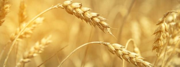 Weizenfeld. ohren des goldenen weizens hautnah. schöne natur-sonnenuntergang-landschaft. ländliche landschaft unter strahlendem sonnenlicht. hintergrund der reifenden ohren des wiesenweizenfeldes. reiches erntekonzept.