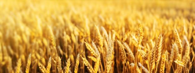 Weizenfeld-ohren-goldener weizen-abschluss. tapete.