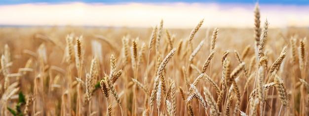 Weizenfeld-ohren-goldener weizen-abschluss