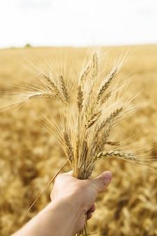 Weizenfeld und männliche hand, die ohrweizen am sonnigen tag halten
