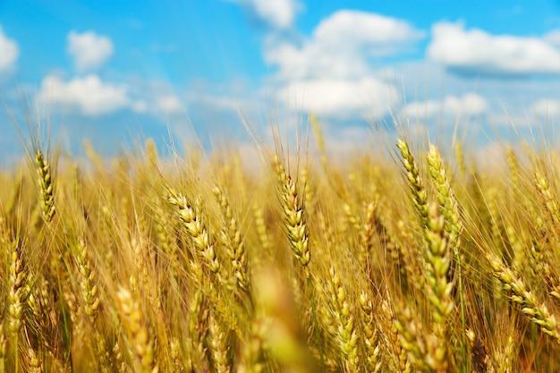Weizenfeld unter blauem himmel mit wolken. ländliche landschaft.
