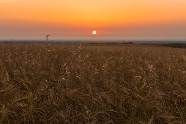 Weizenfelder bei sonnenaufgang bewirtschaften. selektiver fokus