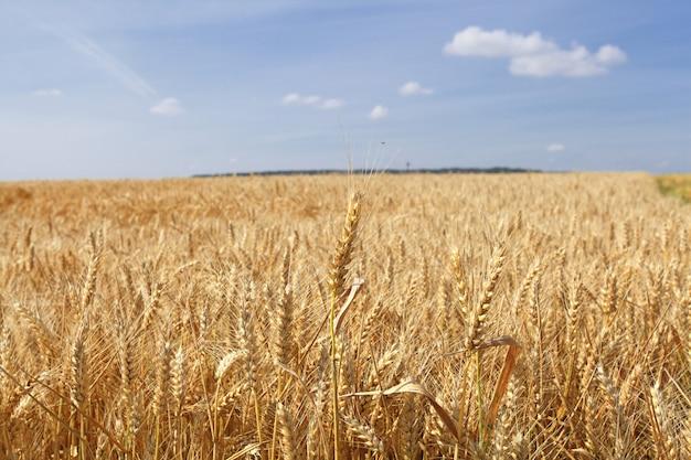 Weizenfelder unter der sonne im sommer vor der ernte