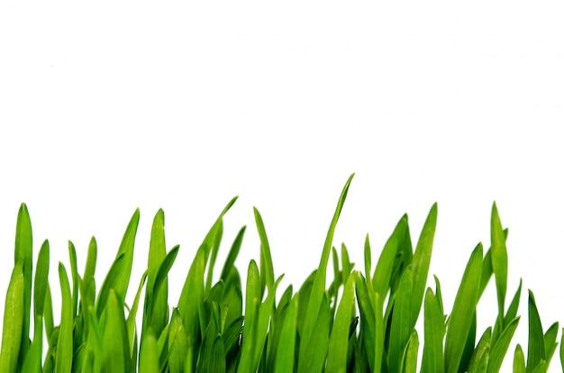 Weizengras isoliert