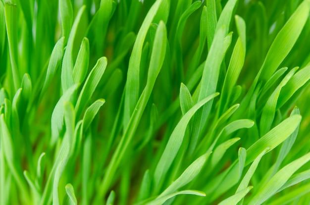 Weizengrass