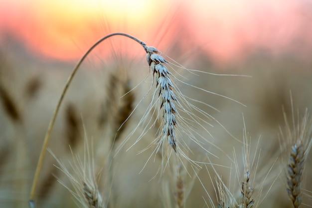 Weizenköpfe auf weizenfeld